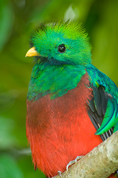 The Resplendent Quetzal One Of Monteverdes Most Spectacular Canopy Dwelling Birds