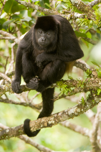 A common mantled howler monkey (Alouatta palliata) rests in a fig tree amidst a meal.